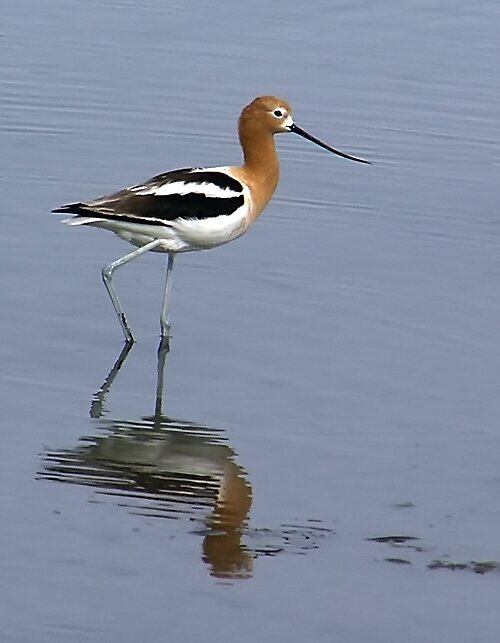 Wading Avocet by Chuck Cannova