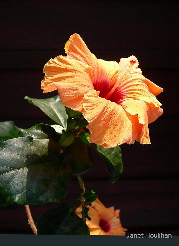 Hibiscus Flower by Janet Houlihan