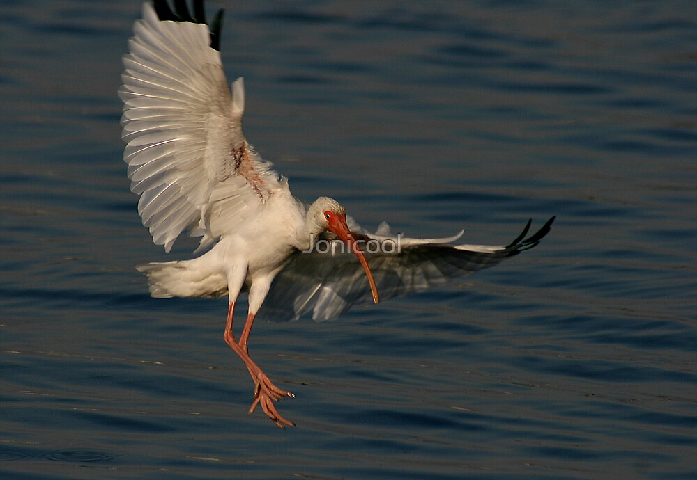 Ibis Landing by Jonicool