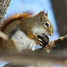 Red Squirrel  by caybeach
