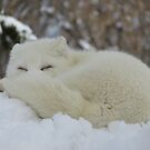 Sleepy Arctic Fox by caybeach