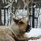Smiling Caribou  by caybeach