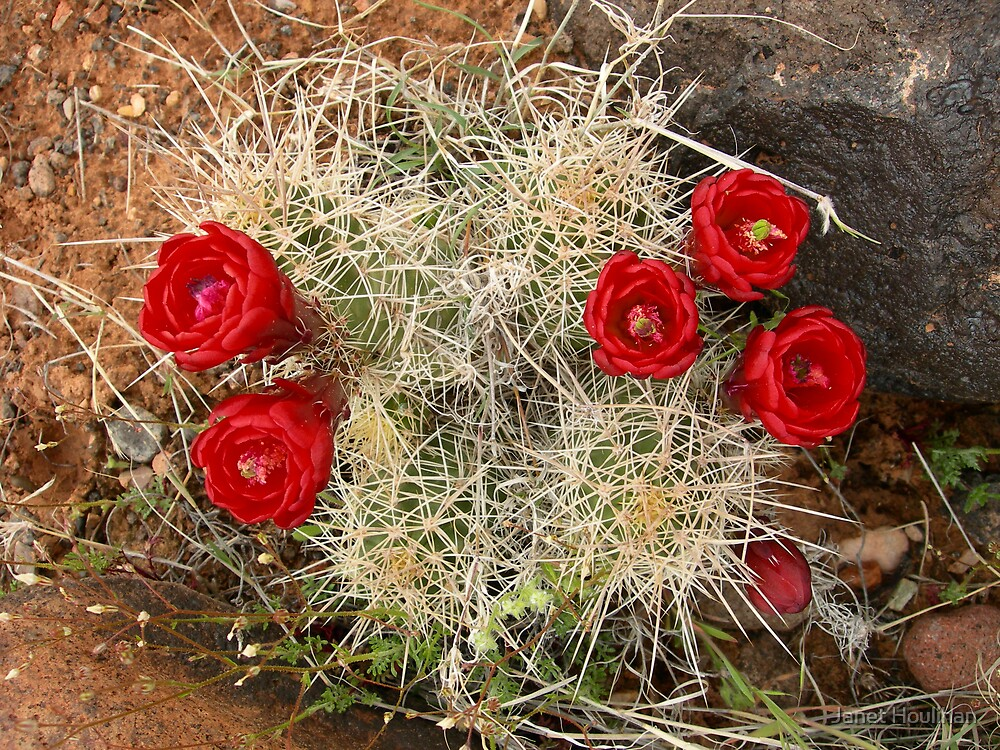 Red Cactus Flowers by Janet Houlihan