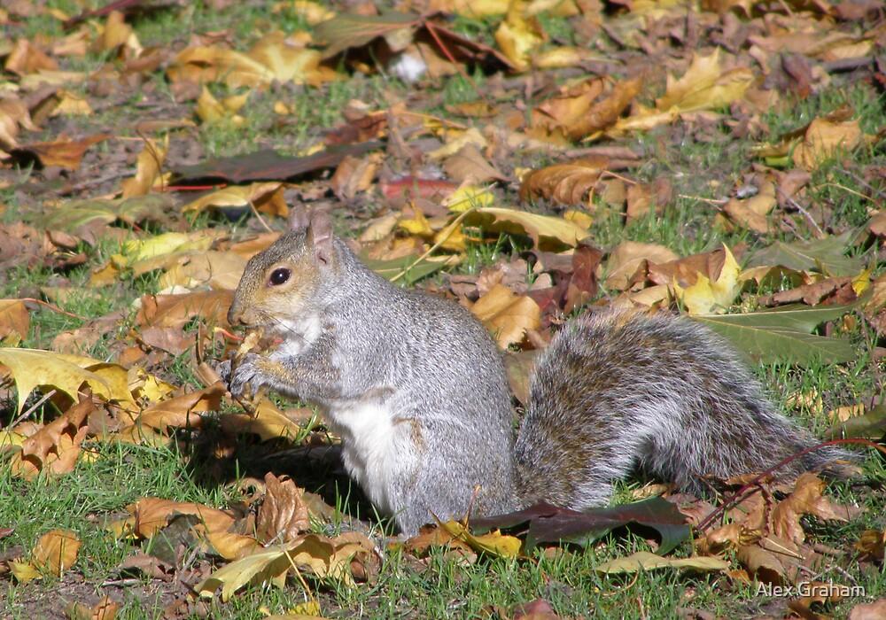 Grey Squirrel by Alex Graham