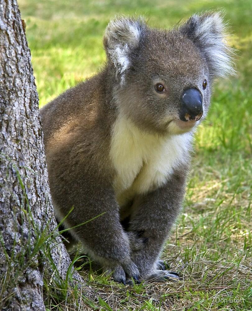 KOALA  BEAR by Don Stott