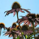 Parasols Of Echinacea  by Creative Captures