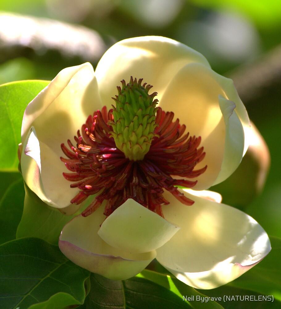 Magnolia Flower by Neil Bygrave (NATURELENS)