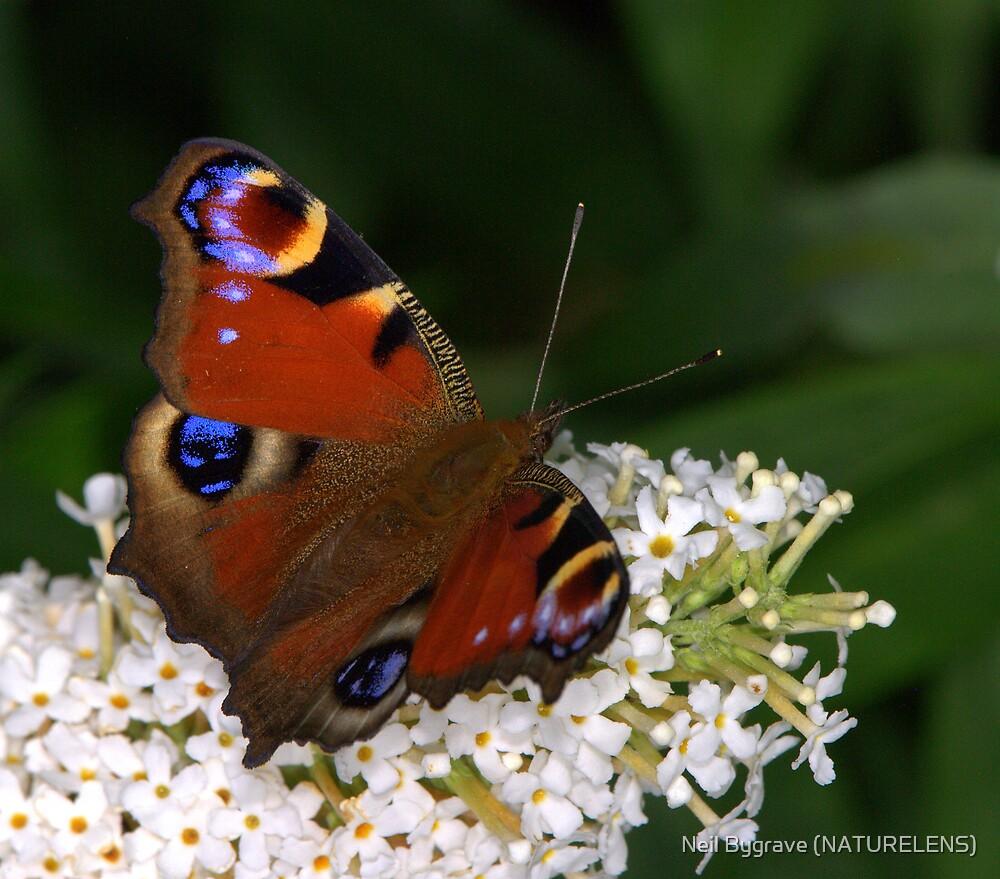 Peacock Butterfly by Neil Bygrave (NATURELENS)