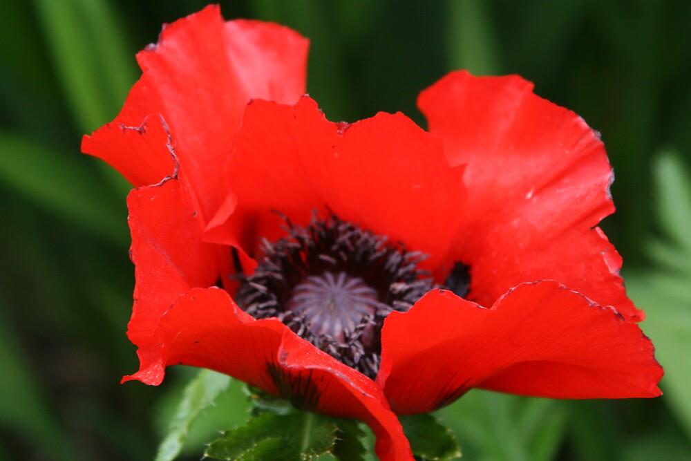 Poppy by TMcCay