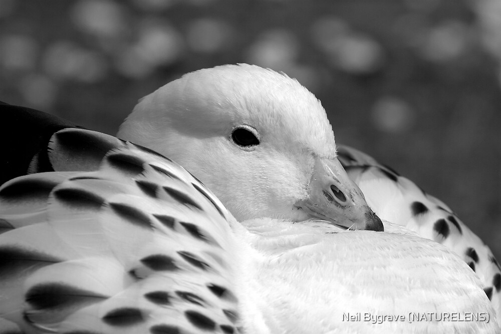 Black & White Goose by Neil Bygrave (NATURELENS)