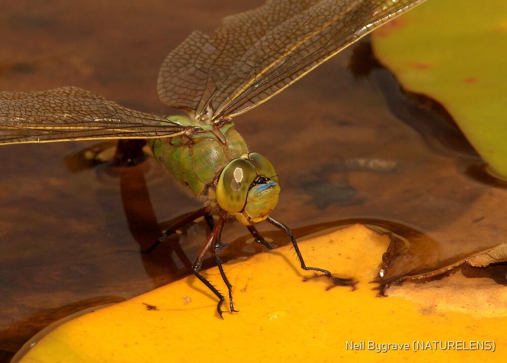 Female Emperor Dragonfly by Neil Bygrave (NATURELENS)