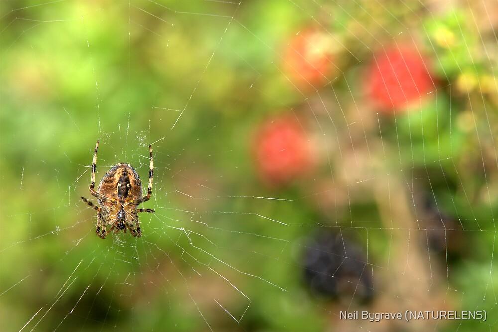 Spider Web by Neil Bygrave (NATURELENS)