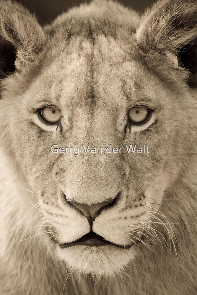 Sub-Adult Lion by Gerry Van der Walt