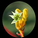 Flower of Kangaroo Paw by gpinniger