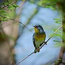 Northern Parula singing a song by TJ Baccari Photography