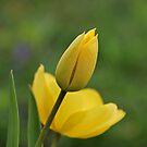 Yellow Tulips by Sandy Keeton