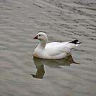 Ross's Goose by Sandy Keeton