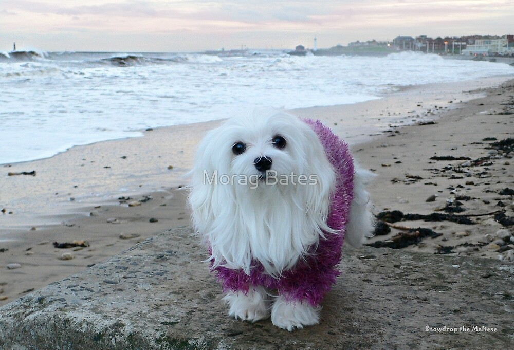 Snowdrop the Maltese - The Beach in Winter  by Morag Bates