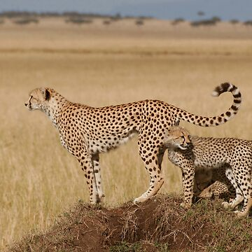 Cheetah Tails by SteveBulford