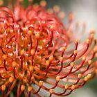 Exotic Pin Cushion Protea Flower by lightwanderer