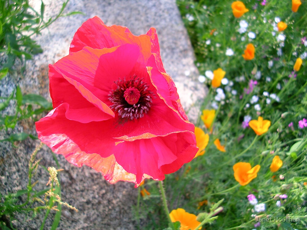 Red Poppy by Janet Houlihan