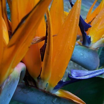 Bird of Paradise by gmack