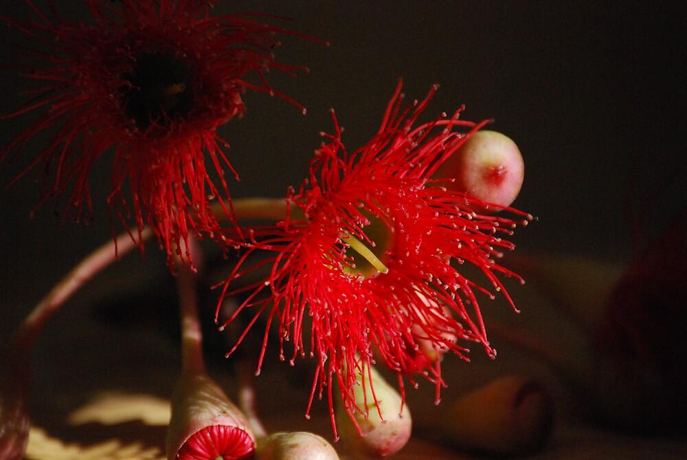 red gum flower by Princessbren2006