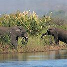 2 Elephants Africa by Robert Blamey