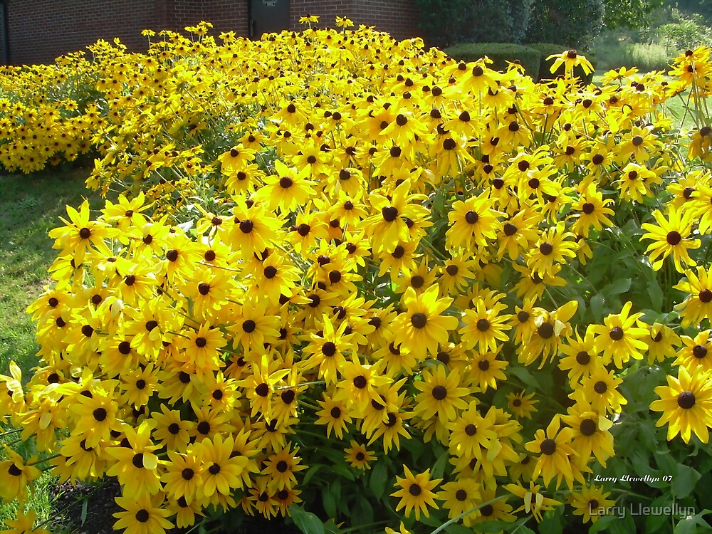 A Sea of Black Eyed Susans by Larry Llewellyn