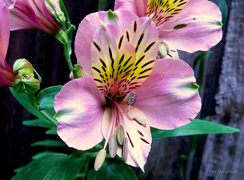 Alstroemeria or Peruvian Lily by Tom Newman