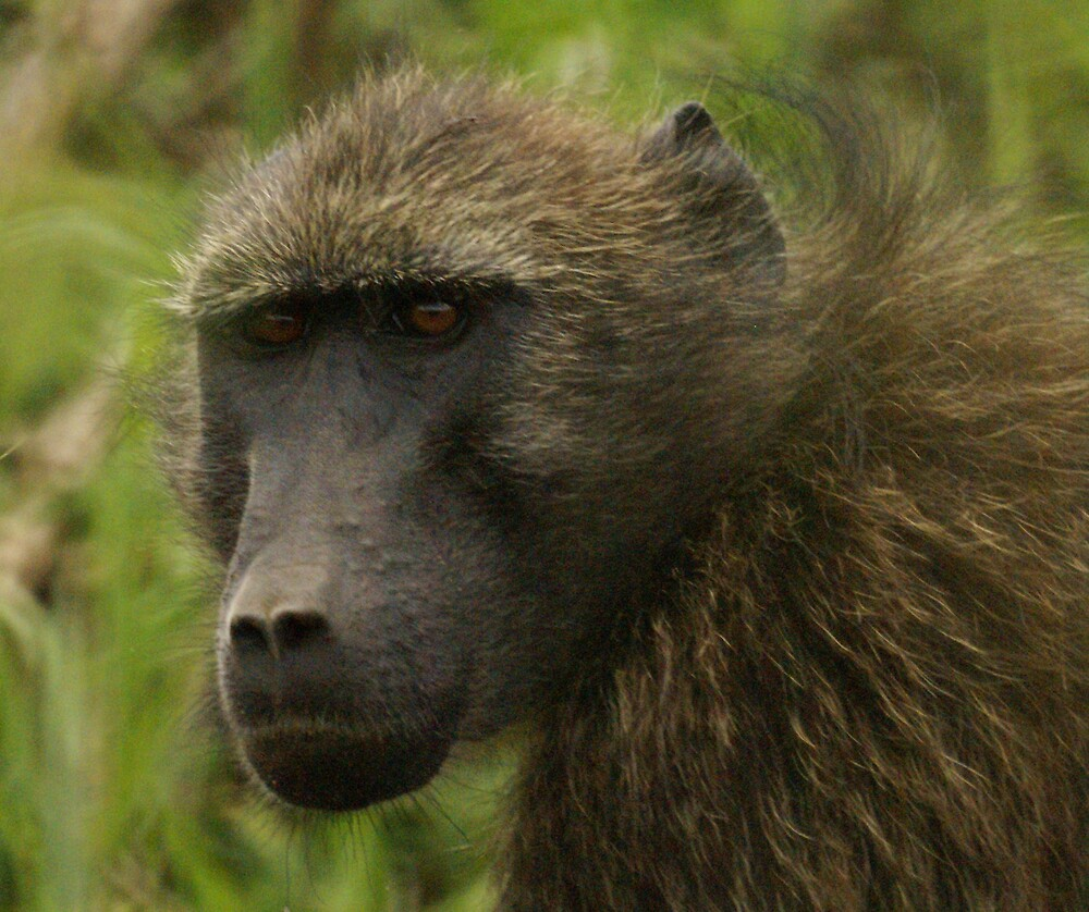 Baboon Look by Wazi
