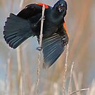Redwing Blackbird by Karen  Helgesen