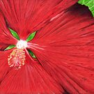 Hibiscus by Genevieve Crabe