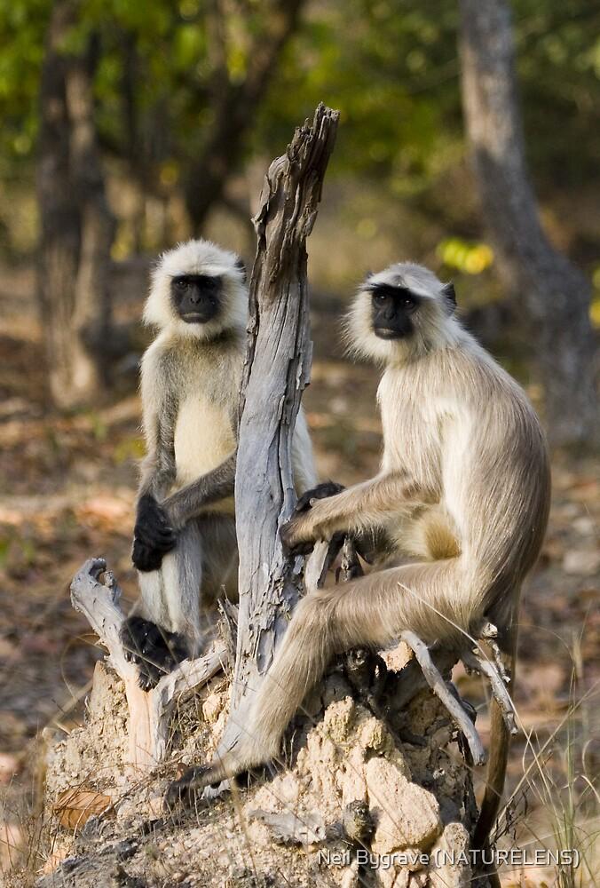 Thoughtful Langur Monkeys by Neil Bygrave (NATURELENS)