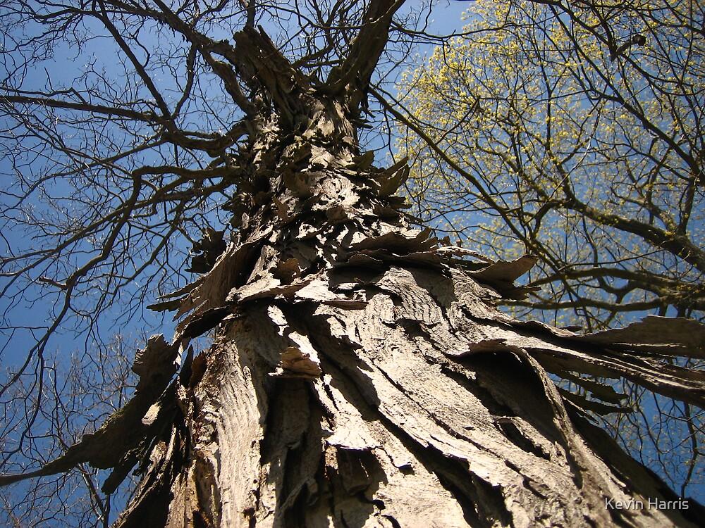 shagbark hickory close up by Kevin Harris