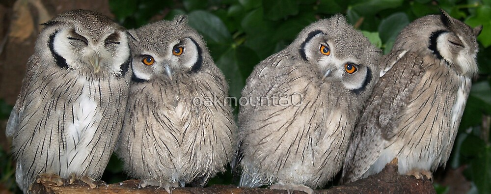 White Faced Scops Owls by oakmount80