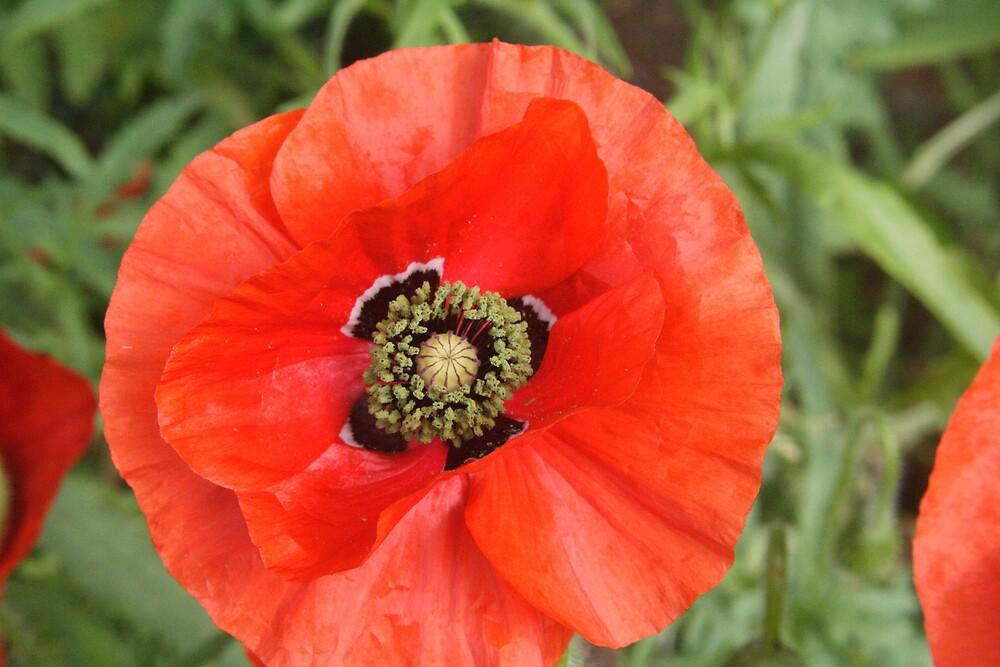Poppy by Sheri Ann Richerson