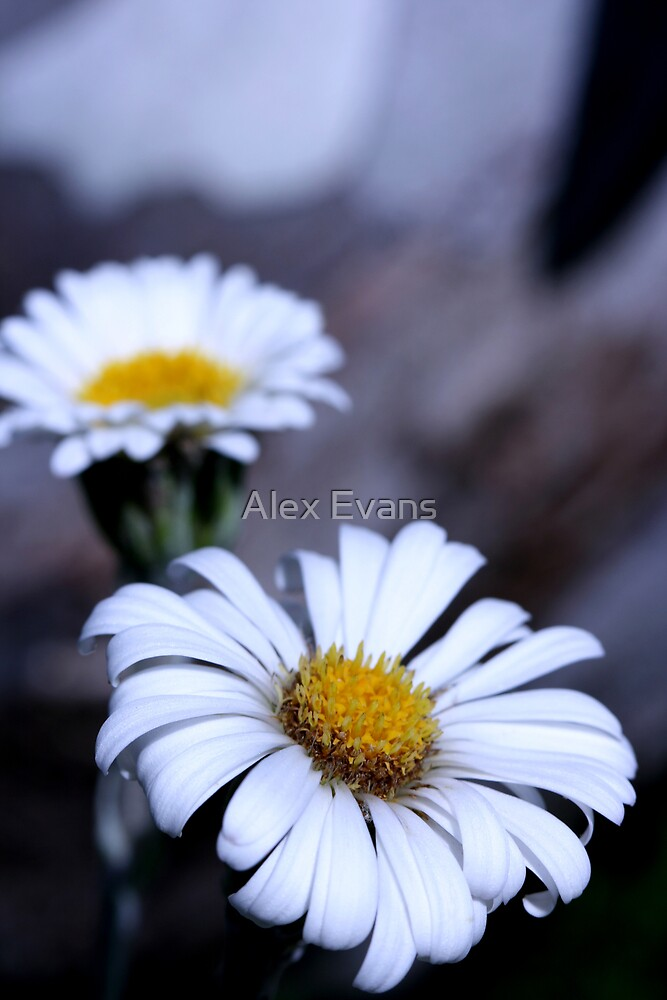 High Country Flower by Alex Evans