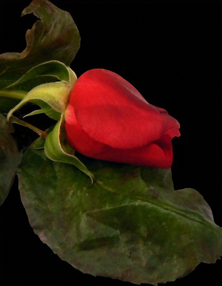 Red Rose. by mariarty