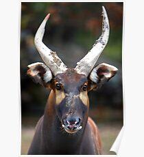 Bongo Beauty Poster