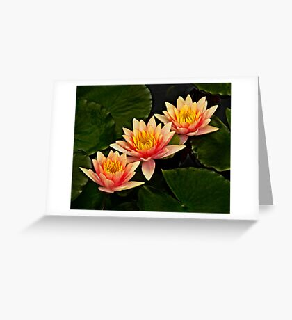 Three orange waterlilies Greeting Card