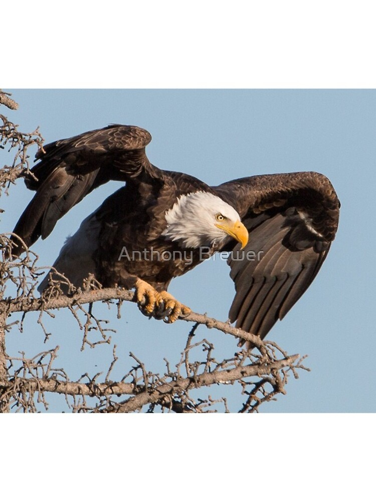 Bald Eagle: prelaunch wing test by dailyanimals