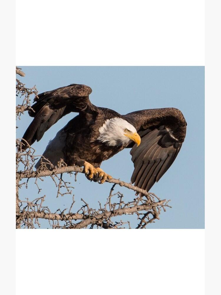 Bald Eagle: prelaunch wing test by dailyanimals