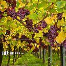 Alsace wine route 2 by amrita125