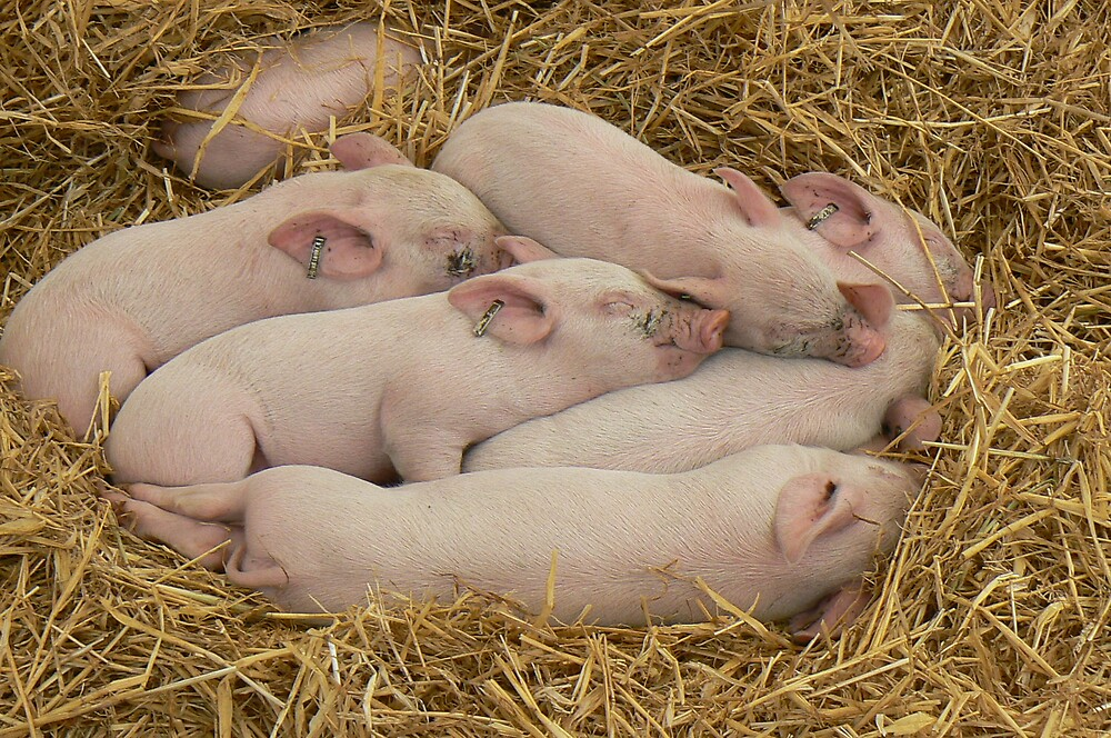 Piggies at rest by Vanessa Combes