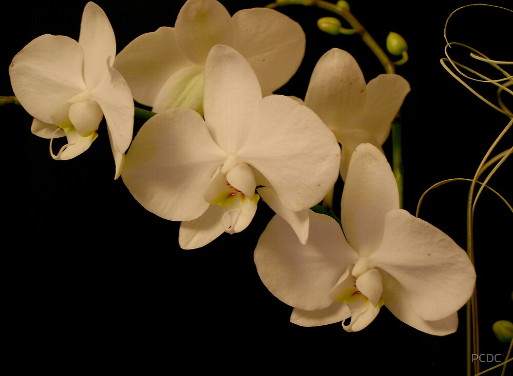 Orchid by PCDC