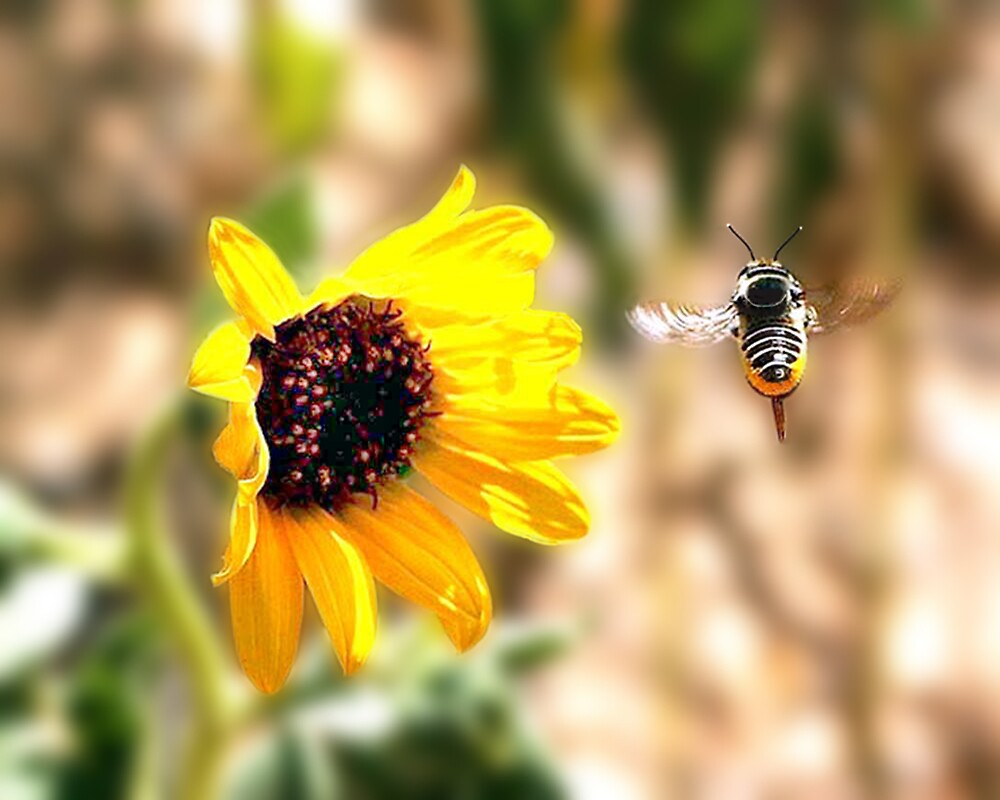 Bee and Flower by Ken  Aitchison