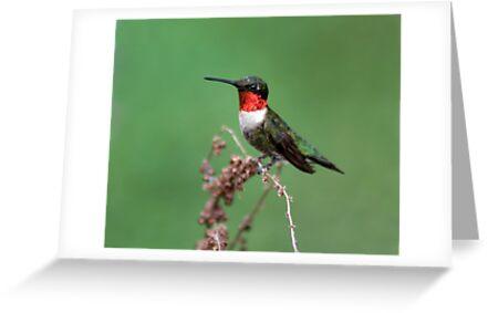 Ruby-Throated Hummingbird by MsSnuffy
