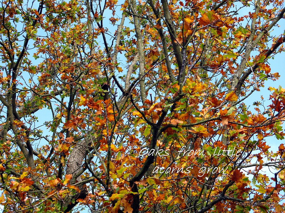 Oaks from little acorns grow by naturalimages