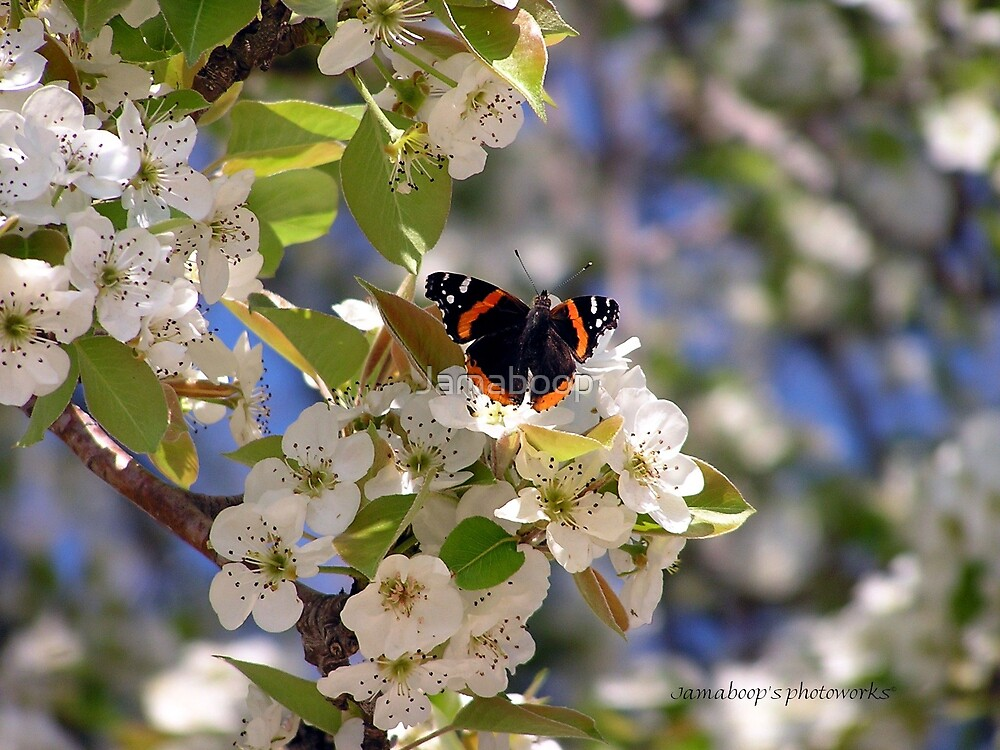 Butterfly in Pear Tree (Texas) by Jamaboop